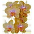 (c) Blumenhaus-orchidee.de